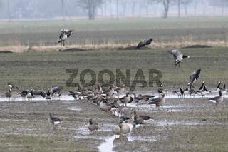 Ab- und anfliegende Wildgänse auf einem überschwemmten Feld
