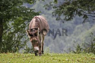 Esel auf grüner Wiese