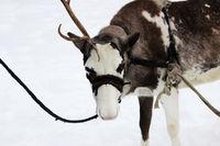 Reindeer Rangifer tarandus is in harness on holiday.