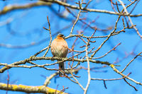 Chaffinch on a branch in the tree in spring