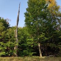 Herbstlicher Wald und alter abgestorbener Baum