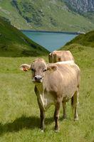 Alpenkuehe beim Spullersee im Lechquellengebirge; Oesterreich; Tirol