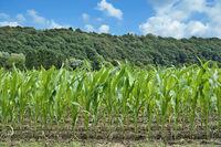 junge Maispflanzen.jpg