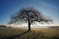 Apfelbaum im Sonnenaufgang