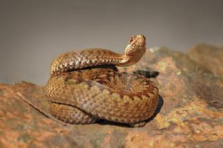 crossed viper preparing to strike