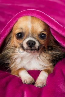 Chihuahua auf rosa Decke