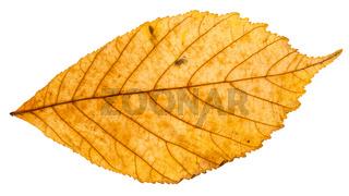 yellow autumn leaf of parthenocissus plant