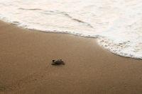 Schildkötenbaby im Sand, Zypern