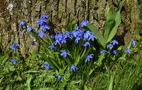 Blaustern; sibirischer Blaustern;