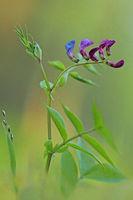 Fruehlings-Platterbse (Lathyrus vernus)