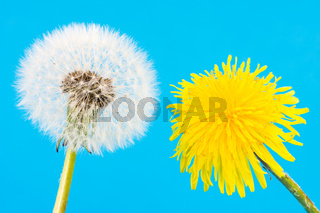 Yellow dandelion and blowball with seeds