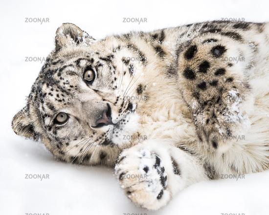 Playful Snow Leopard V