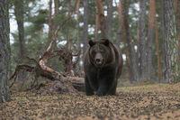 bedrohlich... Europäischer Braunbär *Ursus arctos*, Begegnung im Wald