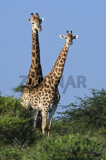 Kapgiraffe, (Giraffa camelopardalis giraffa), Giraffe
