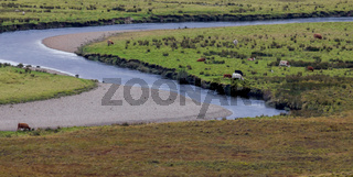 Meadow landscape with river - cows eats green grass