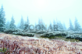 clearing in the forest with fir-trees after the first snow in the year