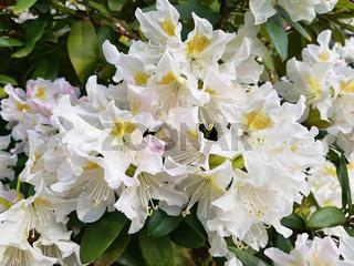 Weißer blühender Rhododendron