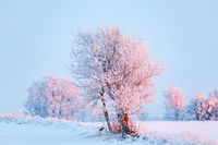 Frost on trees in a field with snow at sunset