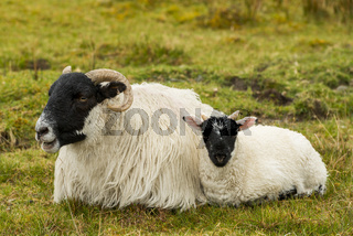 Black and White Sheep with lamb