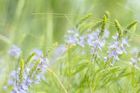 Green juicy grass and gentle blue flowers in the field on a sunny day. Shallow depth of field