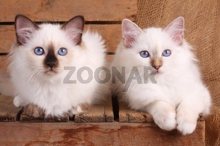 HEILIGE BIRMA KATZE, BIRMAKATZE, SACRED CAT OF BIRMA, BIRMAN CAT, KITTEN, LITTER,