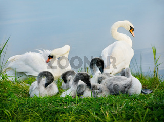 Mute swan. Parents and Kids