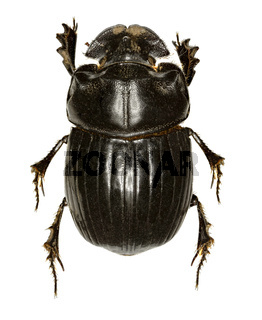 Horned Dung Beetle on white Background  -  Copris lunaris (Linnaeus, 1758)