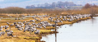 Flock of Cranes on a field at a riverbank