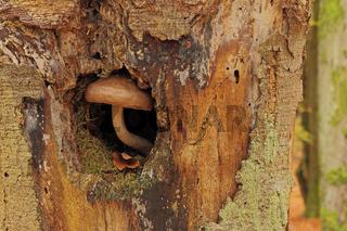 Pilz im Baumstamm