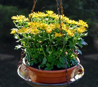 Gelbe Astern