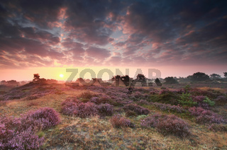 flowering heather at sunrise