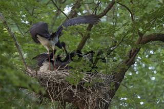die Fütterung... Schwarzstorch *Ciconia nigra*