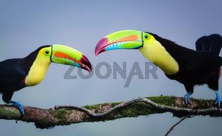Regenbogen Tukane im Dschungel Costa Ricas