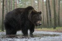 kalte Füße... Europäischer Braunbär *Ursus arctos* spielt in dem zugefrorenem Wasser einer Pfütze