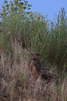 im hohen Gras sitzend... Europäischer Uhu *Bubo bubo* in der Abenddämmerung auf der Jagd