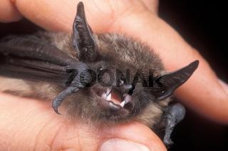 Breitfluegel-Fledermaus, Eptesicus serotinus, serotine bat