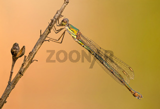 A beautiful close-up portrait of a beautiful damselfly