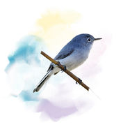 Blue-gray Gnatcatcher watercolor