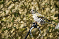 Siskin Sitting in a garden in the springtime