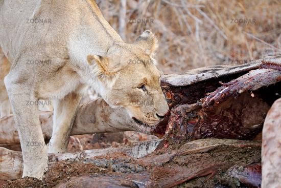 Löwin am Kadaver einer getöteten Giraffe, Südafrika - lioness at a carcass of a dead giraffe, South Africa