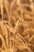Ladybug on wheat closeup.  harvest in the field. ripe