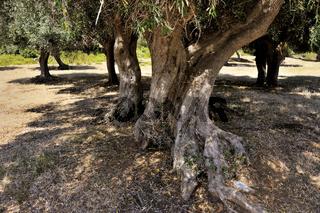 Alte Olivenbäume mit großen Wurzeln in der alten Ackerland der Maremma, in der Nähe von Varese, Tosk