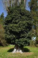 Baum mit Efeu bewachsen