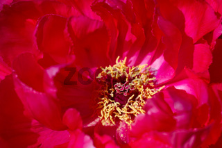 Macro of a red chinese tree peony