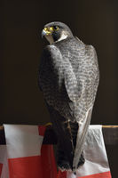 edler Vogel... Wanderfalke *Falco peregrinus*