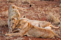 Löwe und Löwinnen, Kruger NP, Südafrika - lion and two lionesses, Kruger NP, South Africa