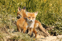 tiny european red fox cub looking at the camera