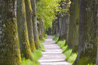 Lindenallee im Frühling mit Fußweg