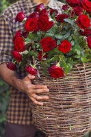 Close up of a gardener holding basket of red roses
