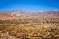 Sheeps grazing on the high peruvian plateau
